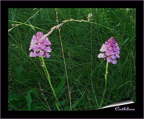 orchis pyramidal par 2
