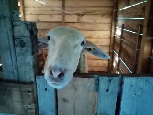 Jour de tonte pour nos chèvres angora et la Brebis.