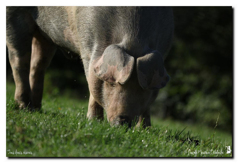 Cochon domestique