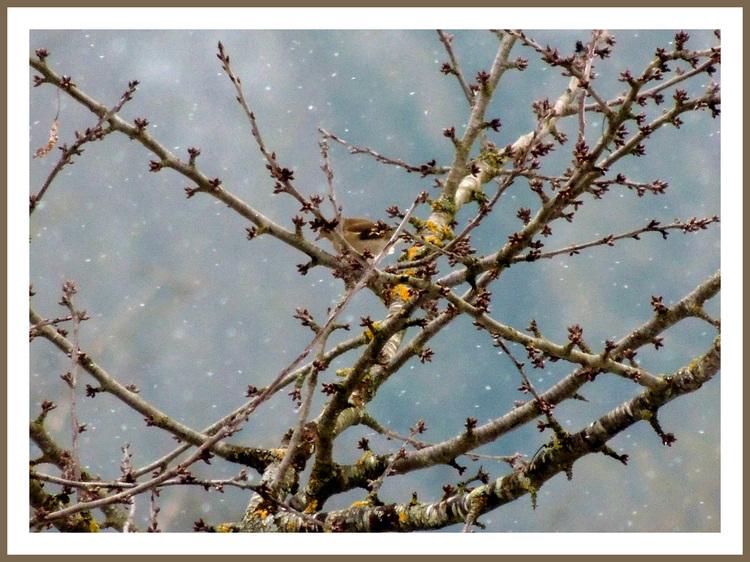 Oiseaux de nos jardins.Images gratuites.Pinson des abres.