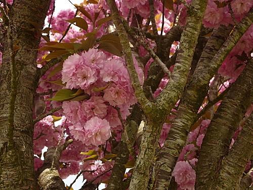 cerisier-fleurs-avril-2010-007.jpg