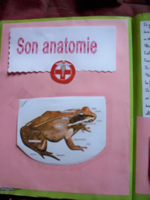 travail sur la grenouille