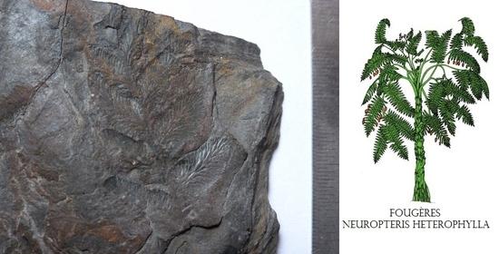 A. 96 neuropteris