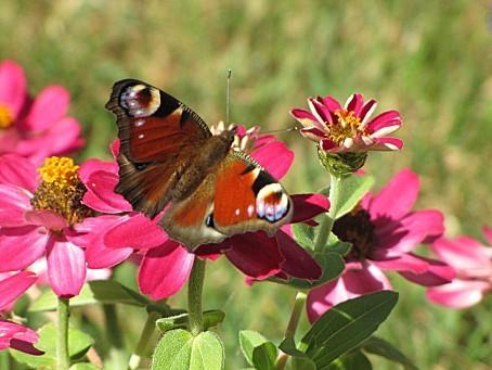 les-papillons-7651.JPG