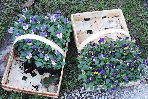 Travaux d'automne au jardin...Violas