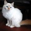 CESAR sacré de Birmanie du bar à chats le Chat L'Heureux
