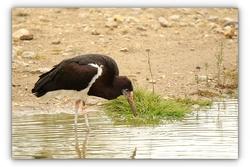 Cigogne d'Abdim - Sigean