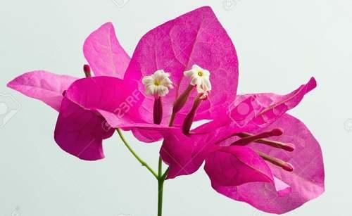 Fleurs cultivées : Bougainvillier