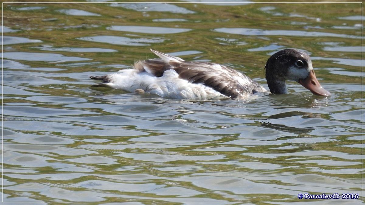 Réserve ornitho du Teich - Juin 2016 - 4/12