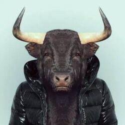 jouons avec le bœuf !