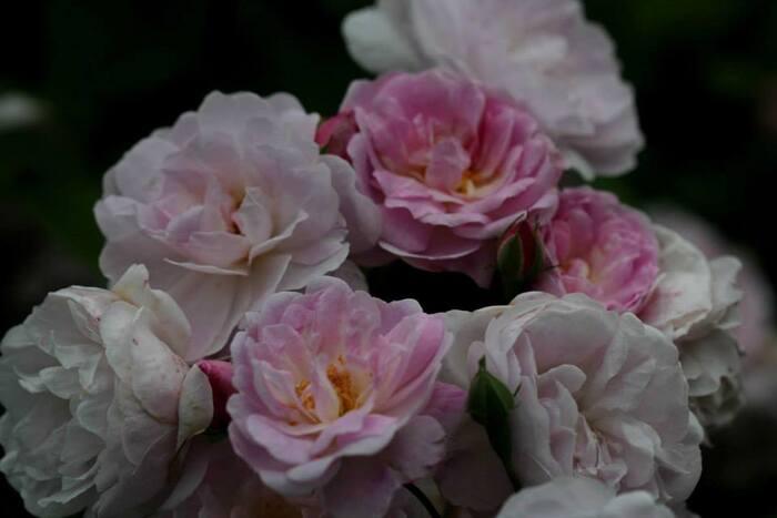 Give me five : longue floraisons chez les rosiers