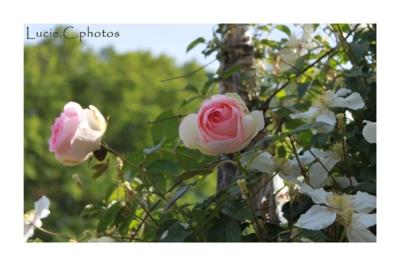 Blog de jephotographie :jephotographie, rose pierre de ronsard