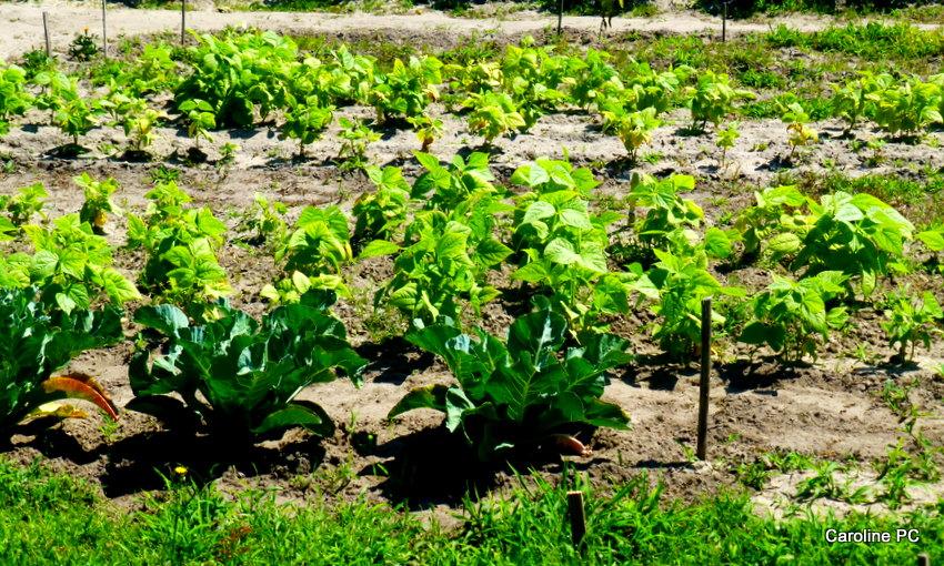 Les beaux jardins la passiflore la rose caroline pc40 - Les jardins de passiflore ...