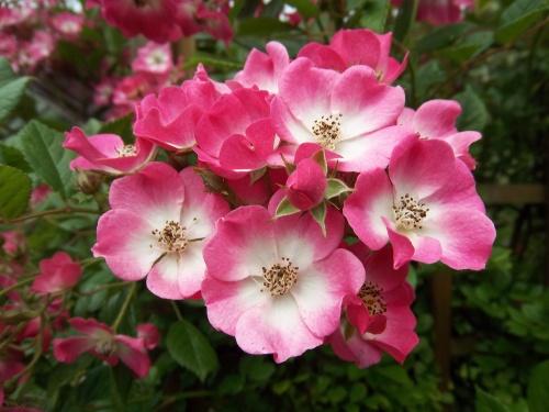 du rose des roses pour voir la vie en rose