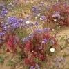 443 Sahara Occidental Désert fleuri