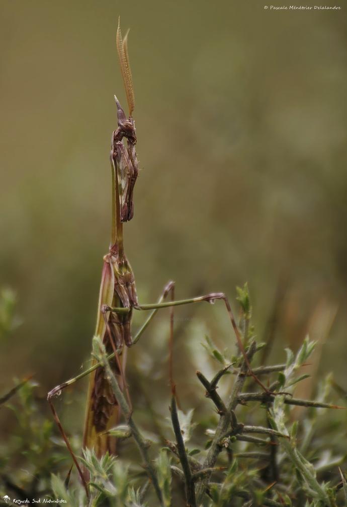 Empuse commune ♂ (Empusa pennata)