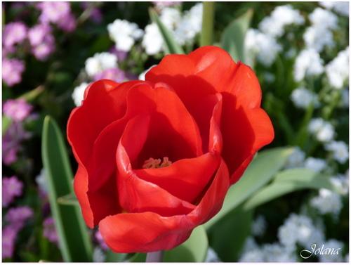 tulipe rouge et myosotis