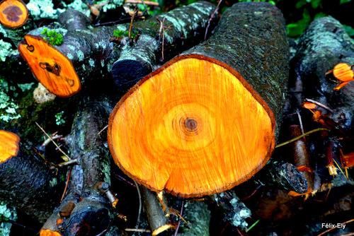 L'arbre coupé !
