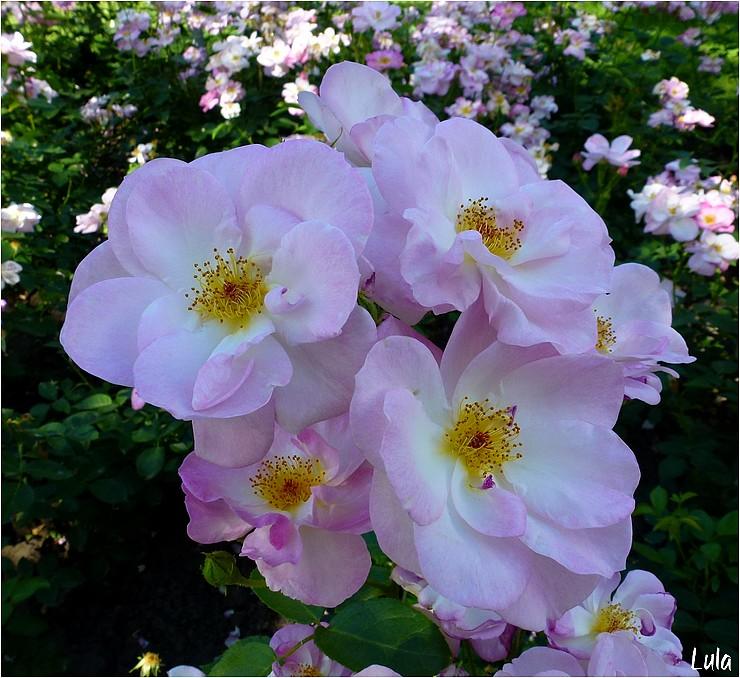 rosier floribunda Escapade