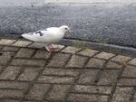 Taube auf dem Pflaster