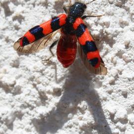 Clairon ou Trichodes des ruches ou Trichodes Alvearius