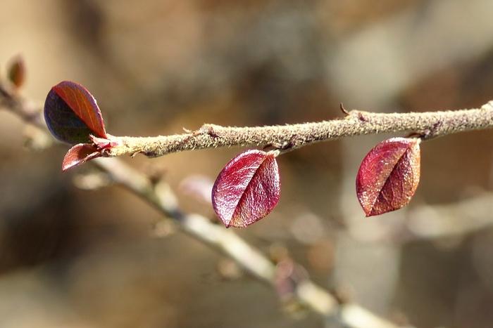 feuilles naissantes