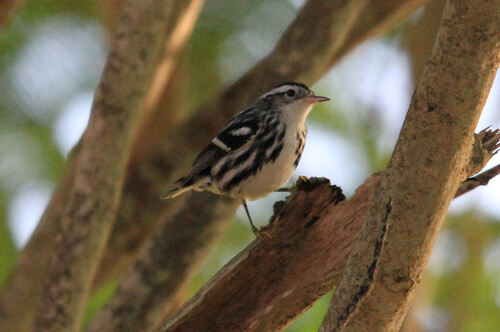 Paruline Nooir et Blanc (Black-and-White Warbler)