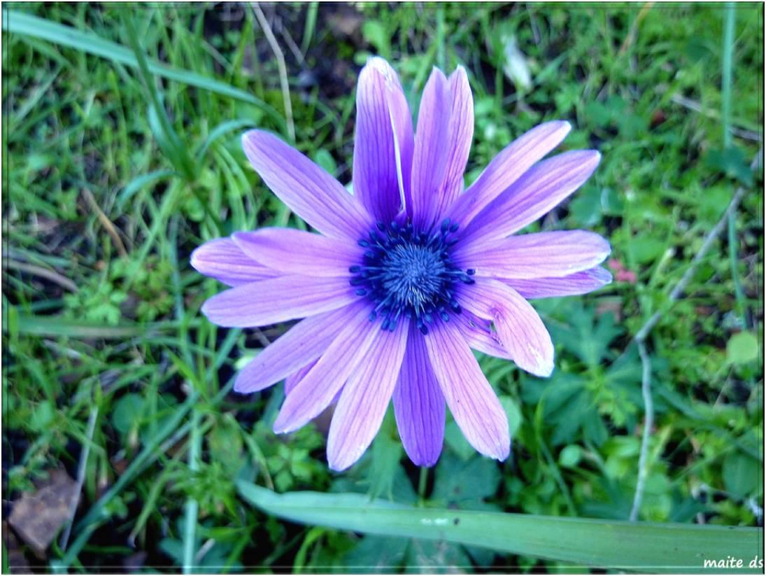 Marguerite violette