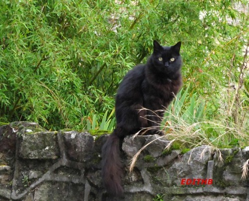 CHAT NOIR - Copie
