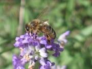 Bz Bz Bz Les abeilles !