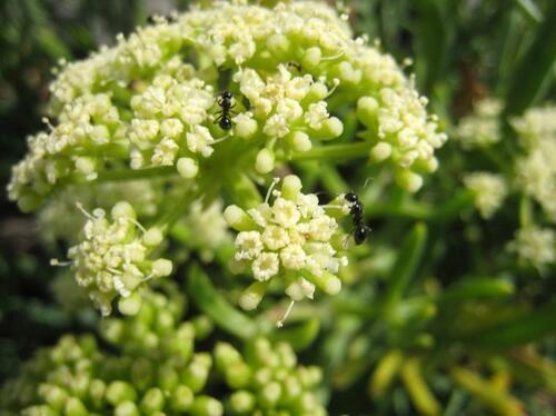 Vertus médicinales des plantes sauvages: Fenoul marin