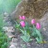 tulipes de noel