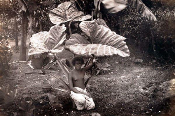 Taro feuilles 1887 Tahiti-héritage