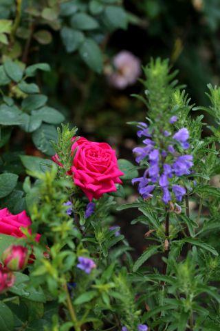 Des compagnes pour mes roses : Dracocephalum moldavicum