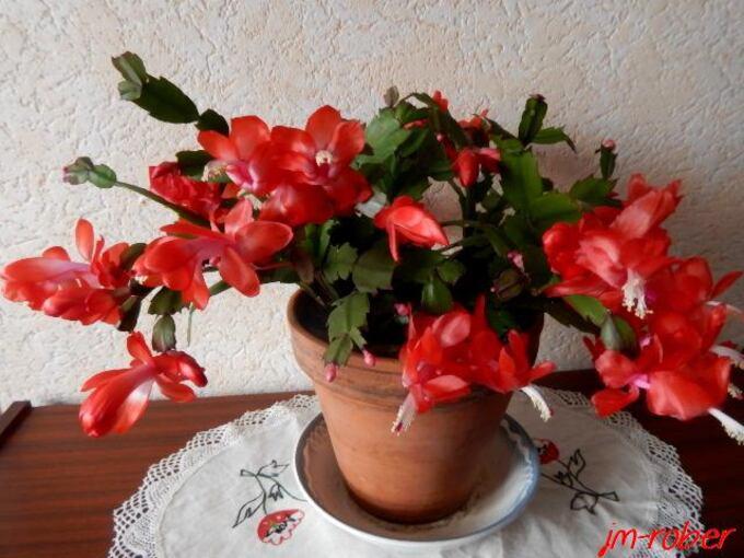 """Plante double """" intérieur - extérieur """"  Le Schlumbergera ou Cactus de Noël"""