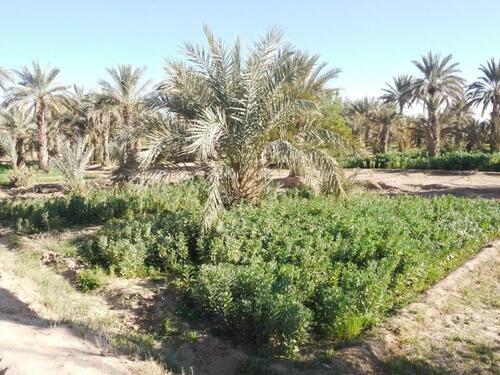 Palmiers et fèves