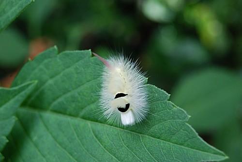 Calliteara-pudibunda---Lymantriidae.jpg