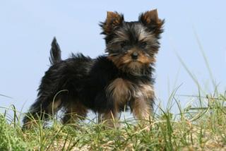 Le Yorksire Toy Ou Terrier Bienvenue Sur Nos Pets
