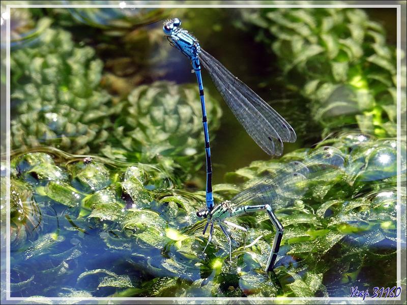 Ils se sont rencontrés, se sont plus, et vont nous faire plein de beaux petits agrions ... Demoiselles bleues Agrions jouvencelles (Coenagrion puella) - Lartigau - Milhas - 31