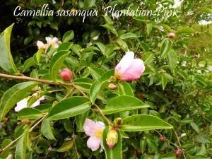 Camellia La Roche Jagu oct2010 011