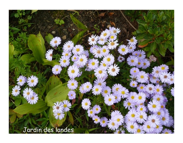 Les asters.