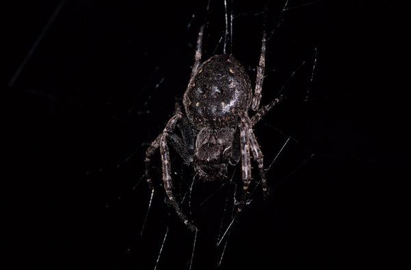 Araignée du soir...