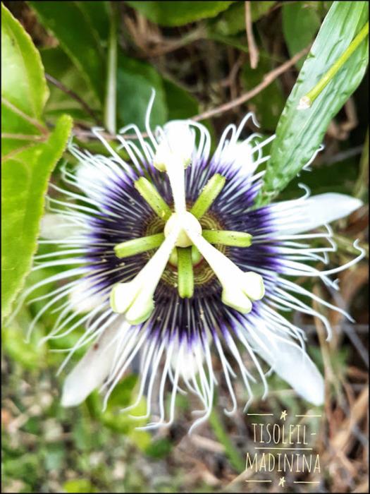 fleur maracuja ou fruit de la passion