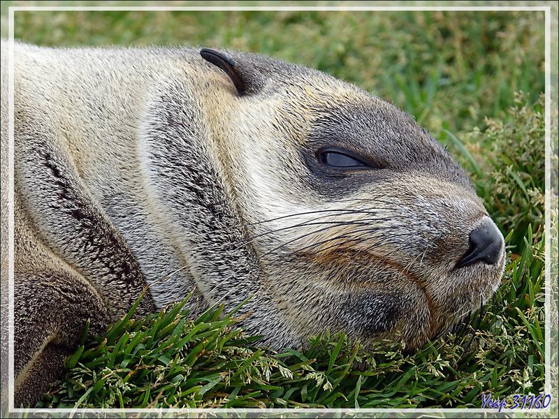 Otarie à fourrure antarctique (ou de Kerguelen) - Saint Andrews Bay - Géorgie du Sud