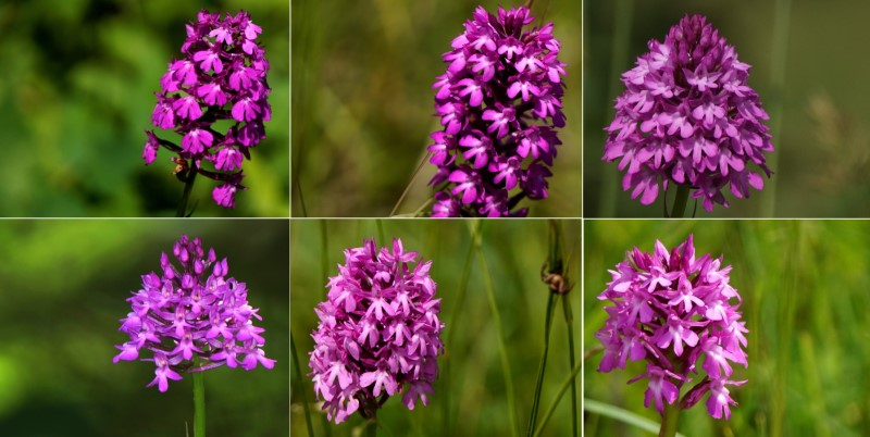 Orchis pyramidal ... suite
