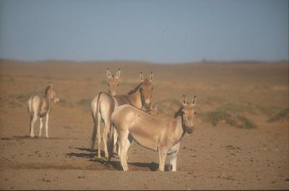 Les ânes sauvages sont revenus en Mongolie  ...