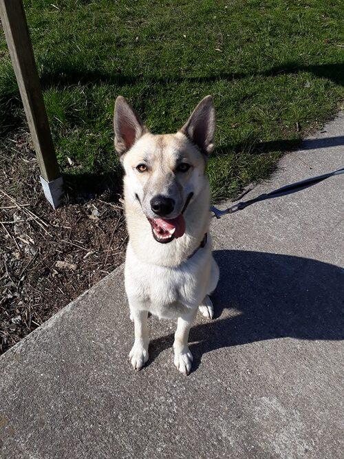 Neiko, croisé husky et malinois de 11 mois
