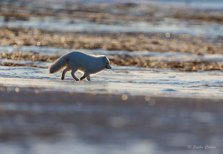 2e renard du 11 mars