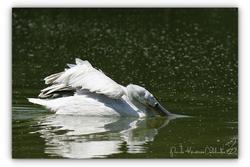 Pélican frisé - Parc des oiseaux