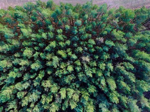 Forêt de pins près de Petersdorf, en Allemagne, prise en photo au dessus des cimes par un drone.